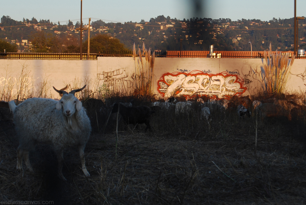 7seas Graffiti Goats. 